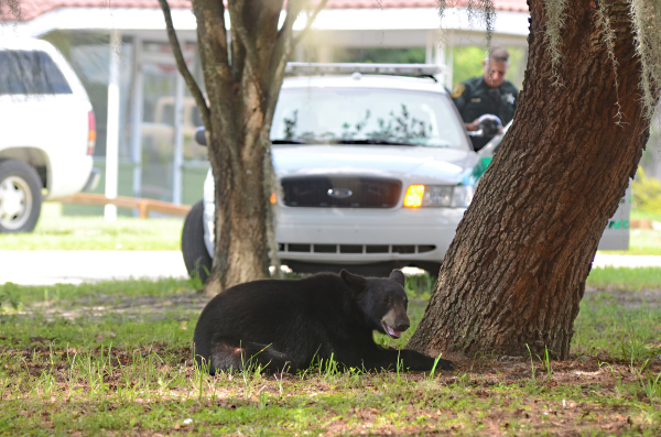 Bear makes trek through downtown Avon Park